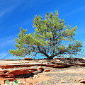 Clinging Tree In Zion National Park by Bruce Gourley