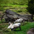 Clint's Sheep  by Patrick Boening