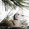 Close Up African Collared Dove by Marilyn Hunt