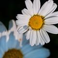 Close Up Daisy by Nathan Wright