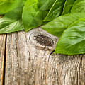 Close Up Fresh Basil Leafs On Rustic Wooden Boards by Thomas Baker