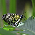 Close Up Look At A Paper Kite Butterfly On Foliage by DejaVu Designs