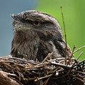 Close Up Look At A Tawny Frogmouth Sitting In A Nest by DejaVu Designs