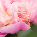 Close Up Macro Peony Flower by Carol Mellema