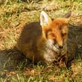 Close-up Of A Fox Resting In A Park by Susanna Mattioda