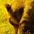 Close Up Of A Grizzily by Jeff Swan