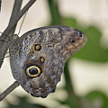 Close Up Of A Pretty Brown Morpho Butterfly  by DejaVu Designs