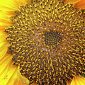 Close Up Of A Sunflower Head by Kevin Richardson