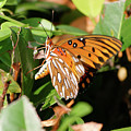 Close-up Of A Vibrant Gulf Fritilary Butterfly  by Jill Nightingale