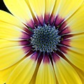 Close-up Of A Yellow African Daisy by Cynthia Woods