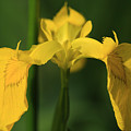 Close Up Of A Yellow Bearded Iris by Deborah Benbrook