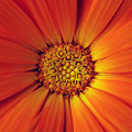 Close Up Of An Orange Daisy by Ralph A  Ledergerber-Photography