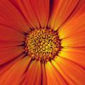 Close Up Of An Orange Daisy by Ralph A  Ledergerber-Photography