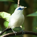 Close-up Of Bali Myna Bird In Trees by Ndp