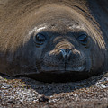 Close-up Of Elephant Seal Looking At Camera by Ndp