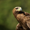 Close-up Of Golden Eagle With Head Turned by Ndp