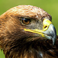 Close-up Of Golden Eagle With Turned Head by Ndp