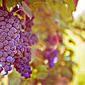 Close Up Of Grapes by Boston Thek Imagery