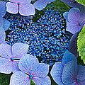 Close-up Of Hydrangea Flowers by Panoramic Images