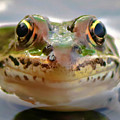 Close-up Of Leopard Frog by Amber D Hathaway Photography