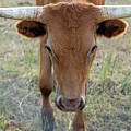 Close Up Of Longhorn Head Through Fence by PorqueNo Studios