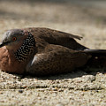 Close-up Of Mottled Pigeon On Sandy Ground by Ndp