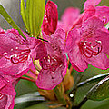 Close-up Of Pink Horatio Flowers by Panoramic Images