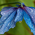Close-up Of Raindrops On Blue Flowers by Panoramic Images