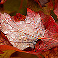 Close-up Of Raindrops On Maple Leaves by Panoramic Images
