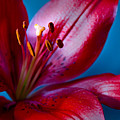 Close Up Of Red Lily by Jacqueline Milner