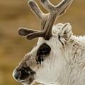 Close-up Of Reindeer Head On Snowy Ridge by Ndp