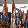 Close Up Of Salt Cod Pieces Drying In Bonavista, Nl, Canada by Karen Foley