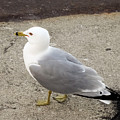 Close-up Of Seagull by Cynthia Woods