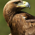Close-up Of Sunlit Golden Eagle Looking Back by Ndp