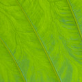 Close Up Of Taro Leaf by Greg Vaughn - Printscapes