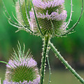 Close Up Of Teasel Blossoms Revealing by Anne Keiser