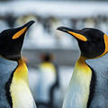 Close-up Of Two King Penguins In Colony by Ndp