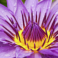 Close Up Of Violet Water Lily by Tosporn Preede