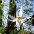 Close-up Of White Trout Lily by Cynthia Woods