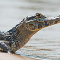 Close-up Of Yacare Caiman On Sandy Beach by Ndp