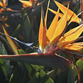 Close Up Photo Of A Bee On A Bird Of Paradise Flower  by DejaVu Designs