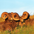Close Up Portrait Group Of Big Bighorn Mountain Sheep Rams by Jerry Voss