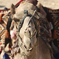 Close-up Portrait Of A Camel by Lilach Weiss