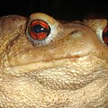 Close Up Portrait Of A Common Toad by Taiche Acrylic Art