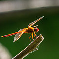 Close Up Red Dragonfly by Stephen Whalen