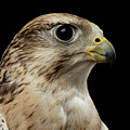 Close-up Saker Falcon, Falco Cherrug, Isolated On Black Background by Sergey Taran