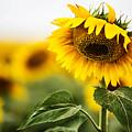 Close Up Single Sunflower In South Dakota by Carol Mellema