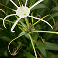 Close Up White Asian Flower With Leafy Background, Vertical View by Jason Rosette