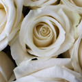 Close Up White Roses by Garry Gay