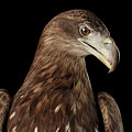 Close-up White-tailed Eagle, Birds Of Prey Isolated On Black Bac by Sergey Taran